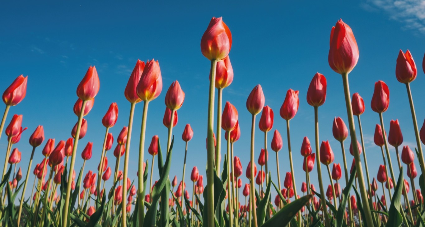 Photo of a field of tulips growing toward the sun Photo by Aaron Burden on Unsplash