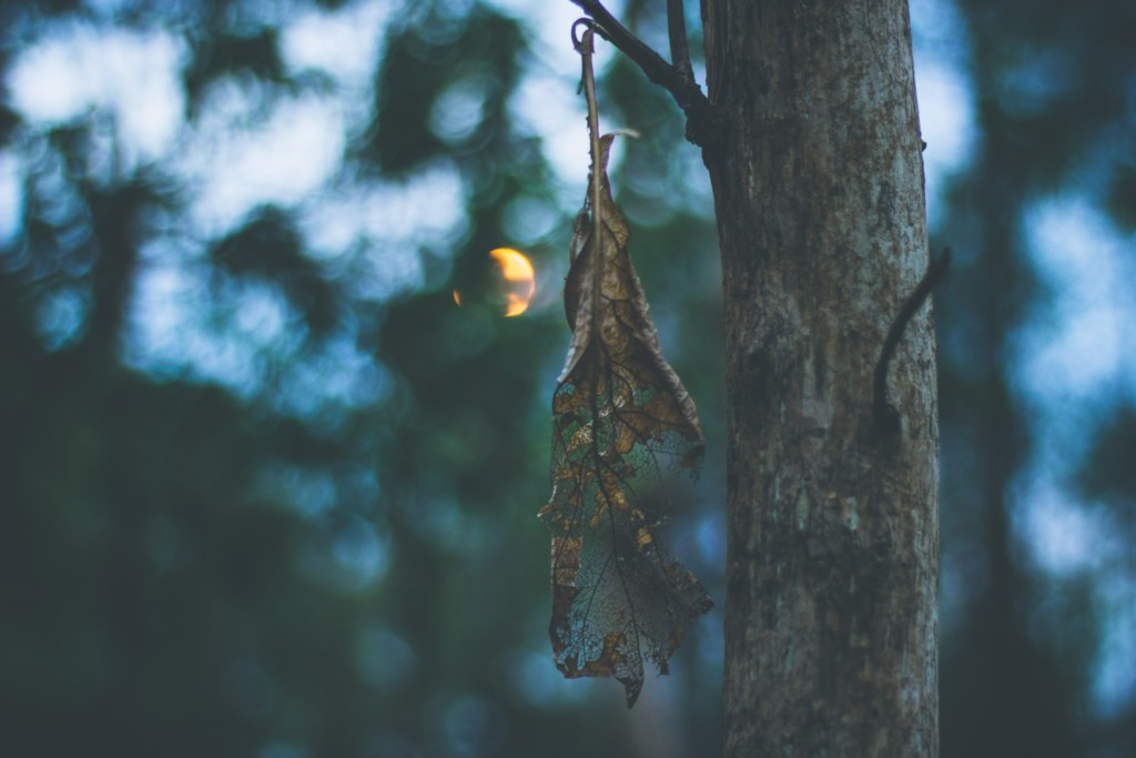 Photo of a dead, dried up leaf on a tree.